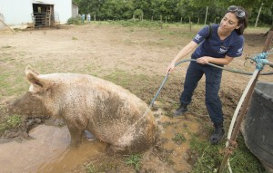 Ashley Mauceri, Senior Manager of Animal Crimes for the HSUS, hoses off a pig during the Humane Society of the United States animal rescue in Pittsboro, N.C., on Wednesday, July 15, 2015. (Chris Keane/AP Images for The Humane Society)