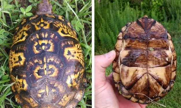Are North Carolina's Box Turtles in Trouble?