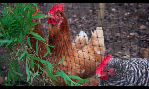 Meet the Chickens of Chapel Hill