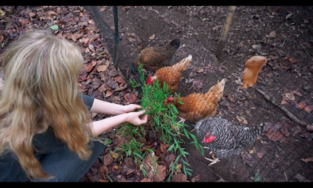 The Chickens of Chapel Hill